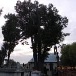 O najstarszym drzewie w Radomsku