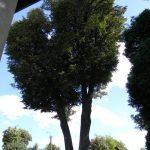 Najstarsze radomszczańskie drzewo pochodzi z ok. 1860 roku!